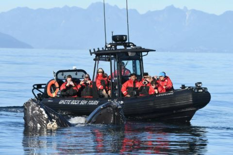 white rock sea tours - whale watching 1