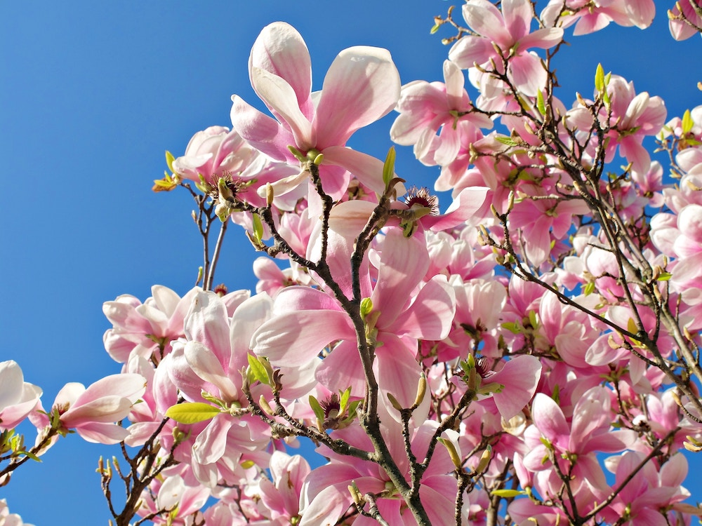 Magnolia Blooms | Spring in White Rock
